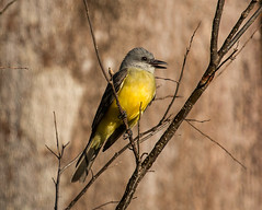 IMG_9499  Tropical Kingbird (ashahmtl) Tags: tropicalkingbird bird flycatcher kingbird tyrannusmelancholicus ricefieldpenonome cocleprovince panama