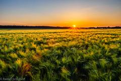 Barley Field (rschubert98) Tags: gerste barley franken olympus nature sonnenuntergang landscape herzogenaurach frühling mzuiko124028pro naturephotography springtime abendlicht