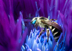 Fortress of Solitude (Don Komarechka) Tags: insect macro uv uvivf ultraviolet fluorescence fluorescent fluorescing glowing blacklight bee cornflower flower nature science physics lumix gx9