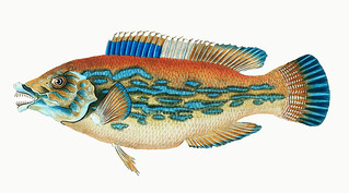Striped wrasse (Labrus Variegatus) illustration from The Natural History of British Fishes (1802) by Edward Donovan (1768-1837). Digitally enhanced from our own original edition.
