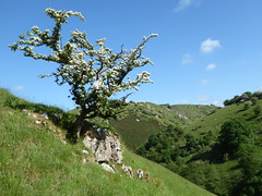 Lone tree (lesleydugmore) Tags: hillside walking hiking dovevalley derbyshire outside outdoors uk britain europe nationalpark peakdistrictnationalpark green sky blue white flowers tranquil peaceful serene rural rock