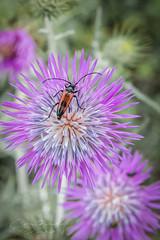 Le lepture porte cœur (pixtoleros) Tags: ifttt 500px insect red insecte rouge nature photograph macro montpellier languedocroussillon