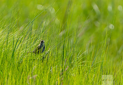 Blackwater National Wildlife Refuge 6/14/18 (AnthonyVanSchoor) Tags: anthonyvanschoor maryland usa seaside sparrow