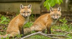 IMGL1538 Pugwash Red Fox Kit(s) (Wallace River) Tags: foxes novascotia pugwashfoxes redfoxes
