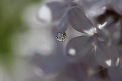 Intimité (Callie-02) Tags: réflexion reflets macrographie macro bokeh profondeurdechamp canon détails lumière violet mauve pastels couleurs printemps extérieur jardin nature arbre plante lilas fleur eau perle drop goutte