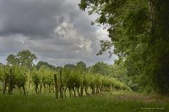 Vineyards under clouds (domingo4640) Tags: vegetal vigne agriculture ciel nuage champ loxia2485 manualfocus