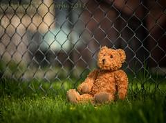 Needing a Break (HFF) (13skies) Tags: fences fence wirefence chainlinkfence lonely bear teddybear grass lost friends needingafriend sitting ponder thinking wishing needing fencefriday sunshine sonyalpha99 sony