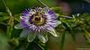 Elle me fais tourner la tête. (musette thierry) Tags: fleur passiflor couleur nature printemps d800 flower flor rond courbe