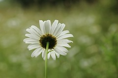 Ox-eye daisy (phileveratt) Tags: flowersbottom smileonsaturday oxeyedaisy spider caterpillar photobomb canon eos77d efs18135