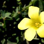 Oxalis flower, Sunset Cliffs thumbnail