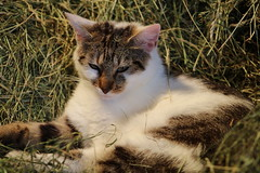 one of my mouse catcher is thinking (excellentzebu1050) Tags: cat pet animal animalportraits farm o coth5