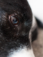 It's all in the eye (Captain192) Tags: dog dogs collie spaniel spanielcolliecross sprollie bordercollie closeup eyes eye reflections