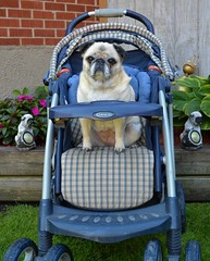 Driving Miss Bailey (DaPuglet) Tags: pug pugs dog dogs pet pets animals animal stroller diva cute coth coth5