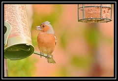 """Mohican Chaffinch..."" (NikonShutterBug1) Tags: nikond7100 tamron18400mm birds ornithology wildlife nature spe smartphotoeditor birdfeedingstation bokeh wings chaffinch birdsfeeding"