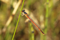 Agrion rougeâtre (M) / Eastern Red Damsel (M) (alainmaire71) Tags: insect odonata odonate damselfly demoiselle coenagrionidae amphiagrionsaucium agrionrougeâtre easternreddamsel nature quebec canada maraisléonprovancher bokeh
