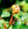 New Life (barbara_donders) Tags: natuur nature bokeh macro spring lente bloem flower rose roos uitkomen blossom green groen mooi prachtig beautiful magical