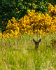 Lossie-180528-5285295.jpg (mike_reid.5710) Tags: morayfirth lossie scotland deer wildlife lossiemouth unitedkingdom gb