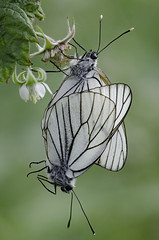 Aporia crataegi 2018-9 (lindnys) Tags: råbjergmose aporiacrataegi crataegi sortårethvidvinge sommerfugl butterfly ålbæk northdenmarkregion denmark dk