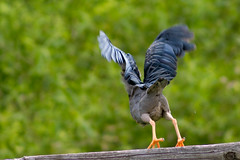 Rear shot of a Green Heron take off (clarue79) Tags: greenheron wildlifephotography wideaperture birdofprey flight feathers maryland butoridesvirescens selectivefocus day birdwatching motioncapture takeoff talons motionblur