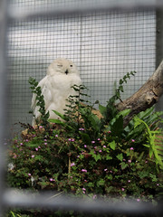 Snowy Owl - Tropical Butterfly House Wildlife And Falconry Centre 2018 (Dave_Johnson) Tags: tropicalbutterflyhousewildlifeandfalconrycentre tropicalbutterflyhouse wildlifepark park centre butterflyhouse anston northanston sheffield southyorkshire animal animals snowyowl owl bird birdofprey