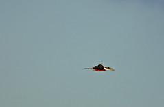 Ringed kingfisher_ (justkim1106) Tags: kingfisher ringedkingfisher flight birdinflight flying bird texasbird nature wildlife