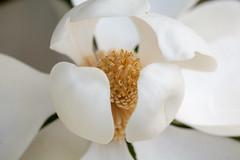 Magnolia (Phet Live) Tags: phet live magnolia 5d zeiss f2 macro 100mm