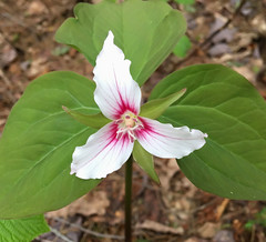 Painted Trillium (explored 5/26/18) (vischerferry) Tags: trillium paintedtrillium wildflower flower lilyfamily trilliumundulatum newyorkstate adirondackpark whitewildflower