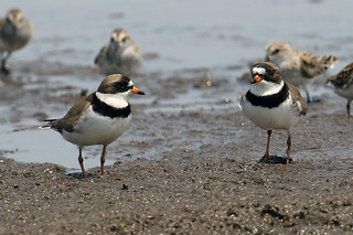 Semipalmated Plover pair.....6O3A1625A
