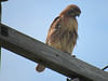 massachusetts hawk :D (/HXRRI/) Tags: hawk mass massachusetts bird blue falcon poll