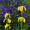 The Iris Blues (AndyorDij) Tags: iris irispseudacorus yellowflag aquilegia andrewdejardin spring 2018 england empingham rutland uk unitedkingdom