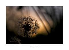 black beauty (Zino2009 (bob van den berg)) Tags: dandelion blute seed silhouette nature natural sunset sun sunlight black beauty shades dark bugs ant fly dutch holland zino2009 closeup