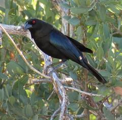 Bronzed Cowbird 5-27-18, Hereford AZ (drichiv1) Tags: canonpowershotsx60 bronzedcowbird ashcanyon azbirds