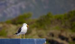Seagull (G E Nilsen) Tags: seabird sea seagull summer norway northernnorway norwegiancoast