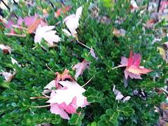 11-07-17 Dayton 03 leaves, fall color (Chicagoan in Ohio) Tags: dayton clouds sun sunhalo leaves fallcolor