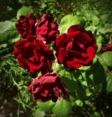 Rose flower, роза (Anna Gelashvili) Tags: цветокроза роза rose flower цветок flowers цветочки garden красныецветочки roseflower ვარდი წითელივარდი