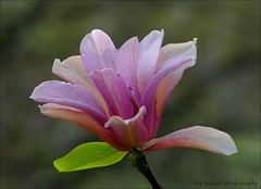 Whatever you set aside to seek happiness.... (itucker, thanks for 4+ million views!) Tags: macro bokeh hbw hggt magnolia hybridmagnolia corallake raulstonarboretum
