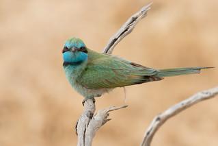 Green Bee-eater (Merops orientalis) שרקרק גמדי