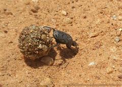 DUNG BEETLE AND ITS DIRTY JOB (GOPAN G. NAIR [ GOPS Creativ ]) Tags: gopsorg gopangnair gopsphotography gops photography blog dung beetle poop roll rolling bug scarabaeoidea