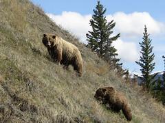 American brown bear - sow and cub (wattanumpty) Tags: ursusarctos grizzlybear bearcub theyukon