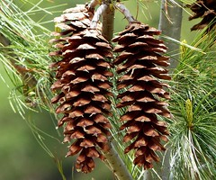 Himalayan Blue Pine Cones - Western Himalayas - 3600m Altitude (forest venkat) Tags: himalayan blue pine cones western himalayas 3600m altitude plants plant macro woods wood tree wow bond wild whale bluewhale flickr rose fish culture damselfly butterfly butterflywatching portrait grass carcass cactus asia china japan lugano tiger lion love girl nature shore grassland bird eagle raptor falcon lifer lovers camera cannon europe belgium france netherlands finland poland amsterdam moscow england iceland bengal africa southafrica norway sweden germany denmark italy rome paris usa brazil canada