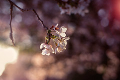 Sunset cherry blossoms (koribrus) Tags: ai 100asa nikon lens fm3a nikonfm3a kori 35mm film manual jeolla photography fuji jeollanamdo koribrus velvia100 focus filmisalive filmisnotdead 100iso prime velvia south korea nikkor jeonnam ais brus analogue believeinfilm 100 analog fujifilm