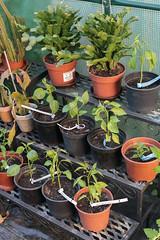 Chilis im Gewächshaus Mitte Mai (blumenbiene) Tags: chilipflanze chilipflanzen chili chilli chillie chilie plant plants pflanze pflanzen garten garden pepper peppers jungpflanzen seeling seelings jungpflanze schlumbergera weihnachtskaktus