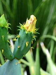 Cactus (The-Beauty-Of-Nature) Tags: summer june juni nature germany deutschland plants pflanzen green grün lush sunny sun sonne sonnig warm stuttgart wilhelma botanic garden botanischer garten zoo