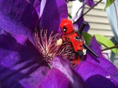 2018-154 - Sunday (Steve Schar) Tags: 2018 wisconsin sunprairie iphone iphone6s project365 lego minifigure deadpool clematis flower purple stamen pollen petal petals