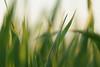 How the winds are laughing. (Gudzwi) Tags: hbw bokeh wind grass meadow wiese gras grün feuer fire gegenlicht backlight sonnenlicht sunlight macro makro 7dwf 7dwfwednesdaysmacroorcloseup macroorcloseup leuchtend bright blurry