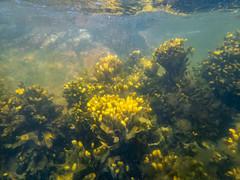 Kelp Zone (elfsprite) Tags: porkkala pampskatan underwater vedenalainen olympustg5 kelp rakkolevä itämeri suomenlahti finland gulfoffinland suomi