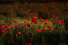 Amapolas (AvideCai) Tags: avidecai amapolas flores tamron2470 otras