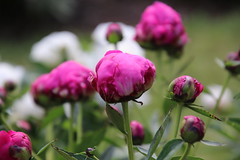 Visit to the Peony Gardens, Nichols Arboretum (University of Michigan, Ann Arbor) - June 4th, 2018 (cseeman) Tags: universityofmichigan nicholsarboretum arboretums michigan annarbor thearb parks trails trees nature peonies peonygarden bloom spring flowers plants nicholspeonies06042018 nicholspeonies2018