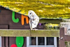 Barn Owl-4 (John Tif) Tags: 2018 barnowl eagleheigths kent birds eynsford