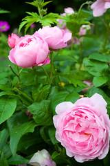 Churchyard Pinks (Adam Swaine) Tags: beautiful flora flowers pinkgreen pink petals nature naturelovers gardens canon summer macro england english britain british eastdulwich london